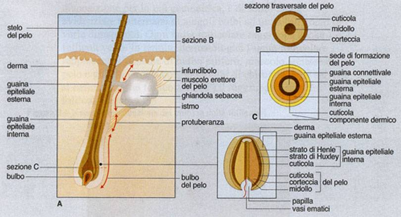 Anatomia del follicolo pilifero del cuoio capelluto